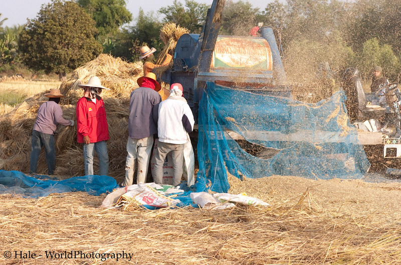 Threshing Rice In NE Thailand