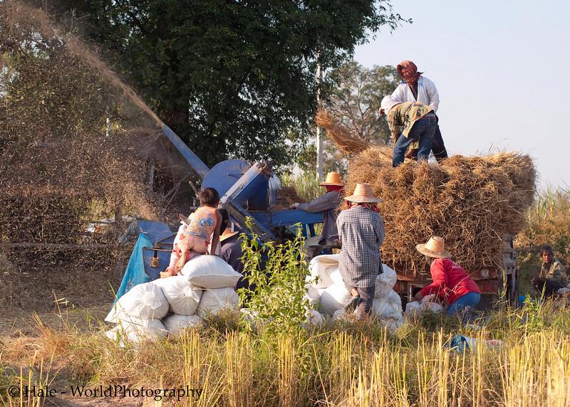 Feeding the Threshing Machine