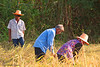Lao Loum Rice Harvesters In Isaan