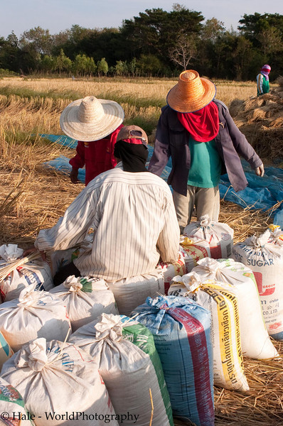 Handling Bags of Freshly Threshed Sticky Rice