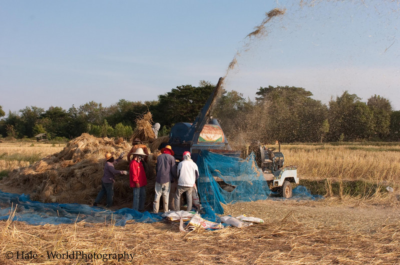 Threshing Rice In NE Thailand, Letting the Chaff Fly