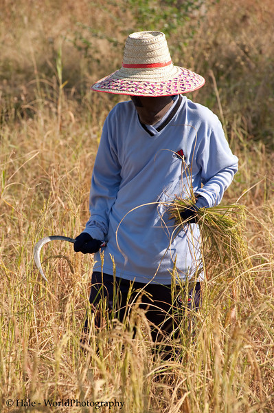 Lao Loum Rice Harvester In Isaan