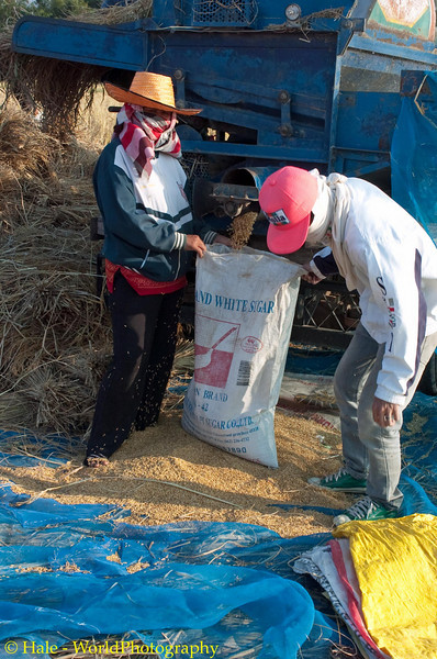 Bagging Freshly Threshed Sticky Rice