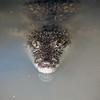 Eye to Eye with a Crocodile Juvenile