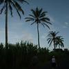 La costa de la isla produce caña de azucar, mezclado entre las palmeras.
