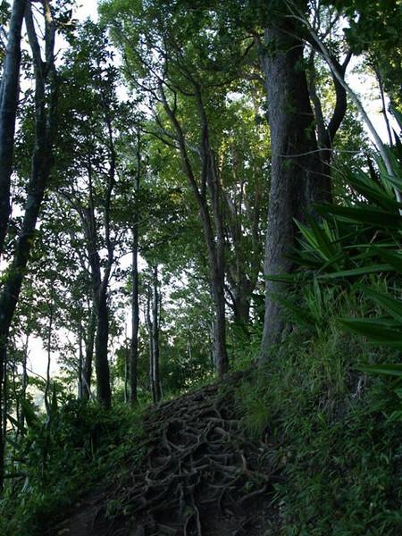 Las raices forman laberintos sobre el camino
