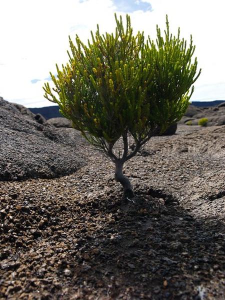 En la ladera del volcán de la Fournaise, empiezan a crecer arbustos