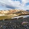 Pionierpflanzte (Strand-Grasnelke) und Rhyolithberge von Landmannalaugar