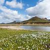 Wollgras in Landmannalaugar