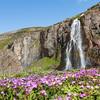 Wasserfall Drífandisfoss; im Vordergrund Storchschnabel