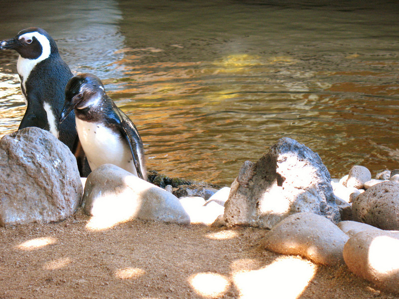 African black-footed Penguins.