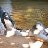 African black-footed Penguins.