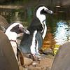 Penguins at the Hyatt Regency Maui Resort.