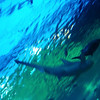 Views of the sharks above us as we walked along the glass tunnel, Maui Ocean Center.