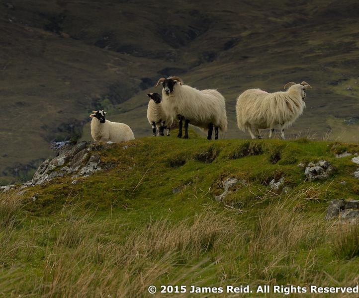 Sheep keeping watch