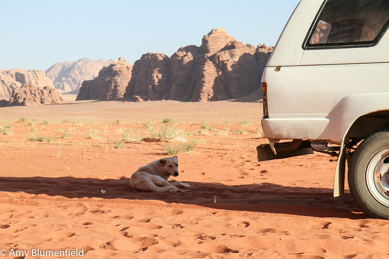 Smart Bedouin dog, Wadi Rum
