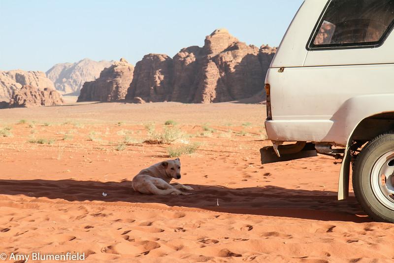 Smart Bedouin dog, Wadi Rum