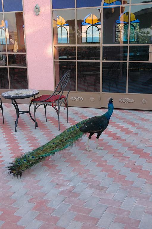 Peacock, Dead Sea, Morocco Restaurant, Israel