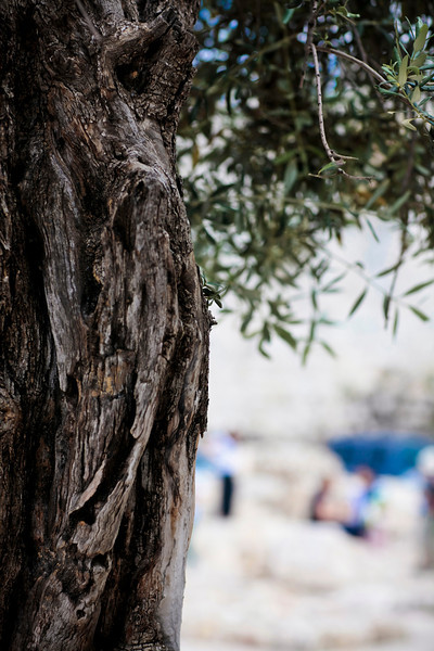 Olive tree in old Jerusalem