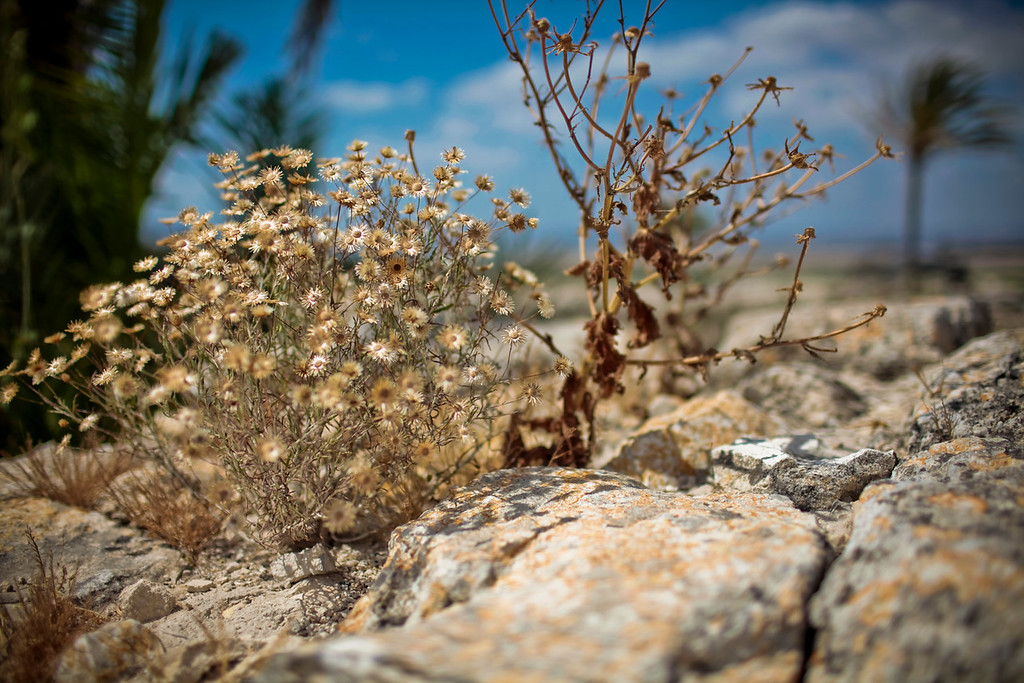 This might have been at Megiddo.  I don't remember.  I just like the simple beauty of these desert flowers.
