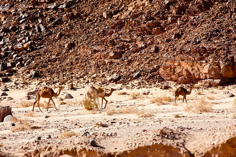 Wild camels in the Sinai Desert