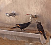 Unique to Masada, these birds catch a few drops of chilled water at the regrouping spot.