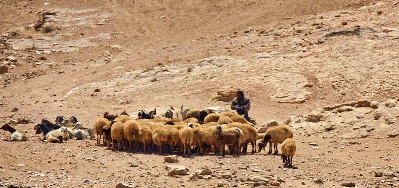 Bedouin with his sheep and goats in the desert on the way to Masada.