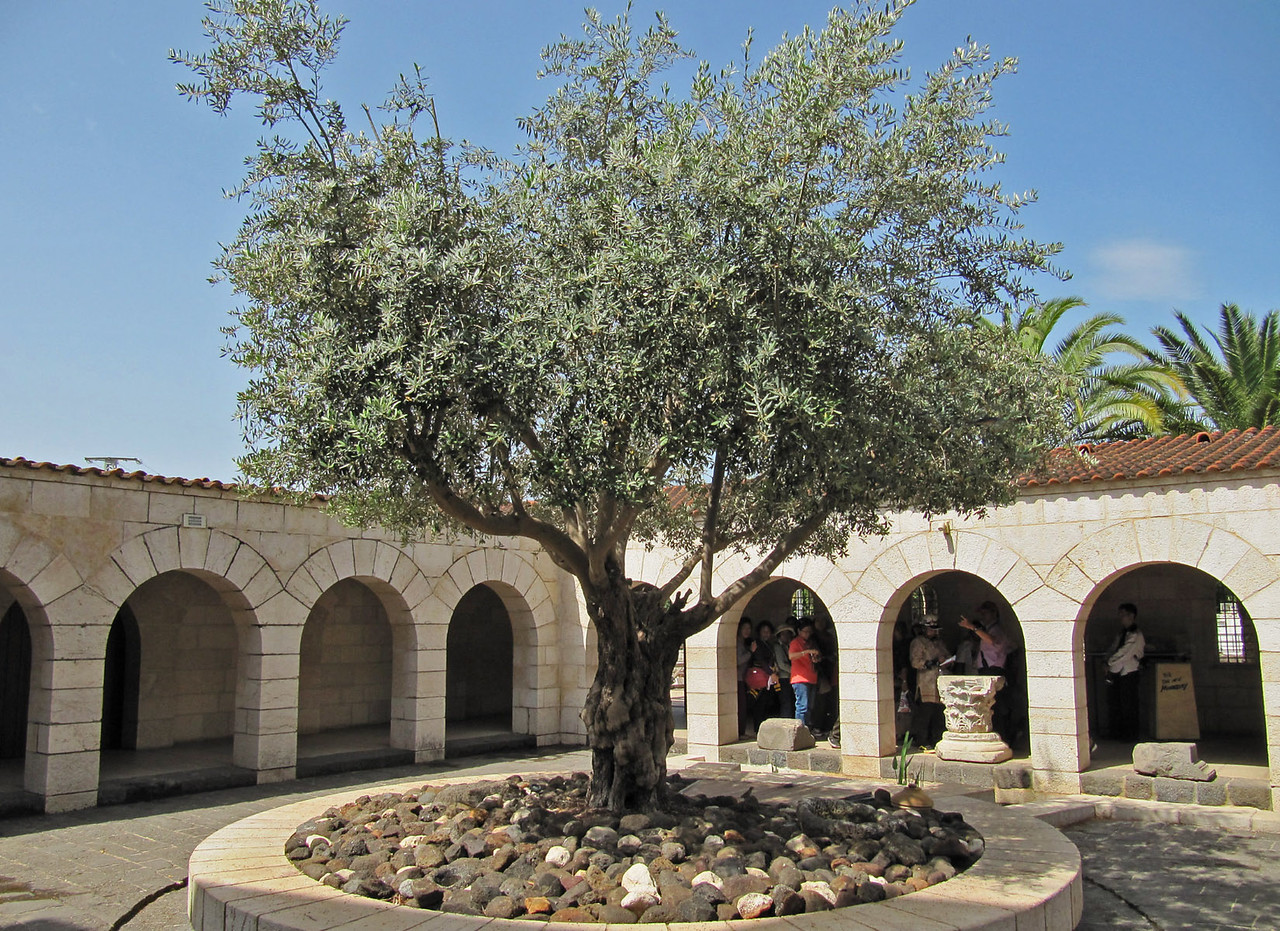 Benedictine Monastery - Olive Tree