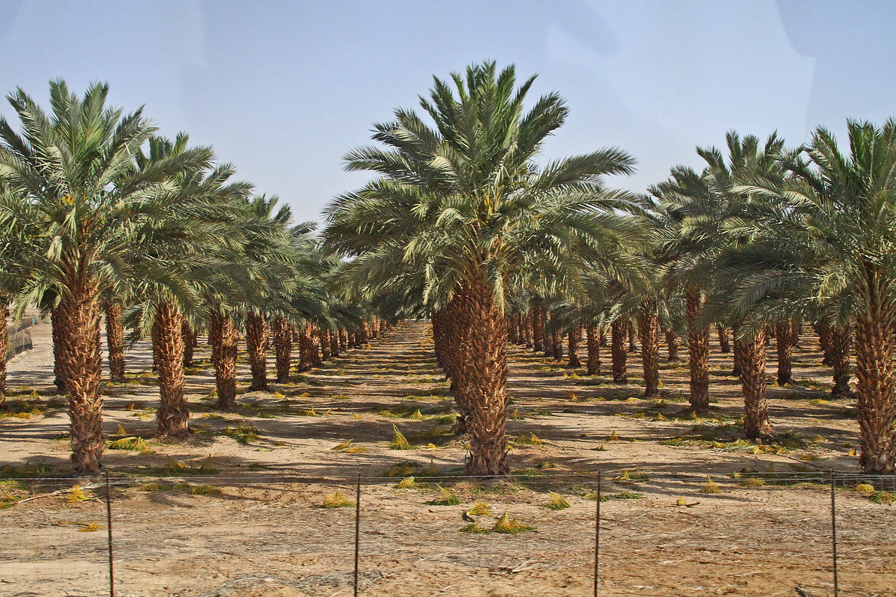 Palm Trees Irrigated with Waste Water
