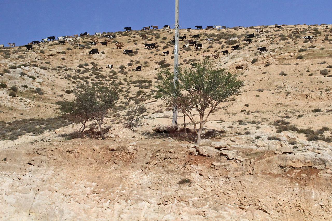 Goats Grazing on Hillside