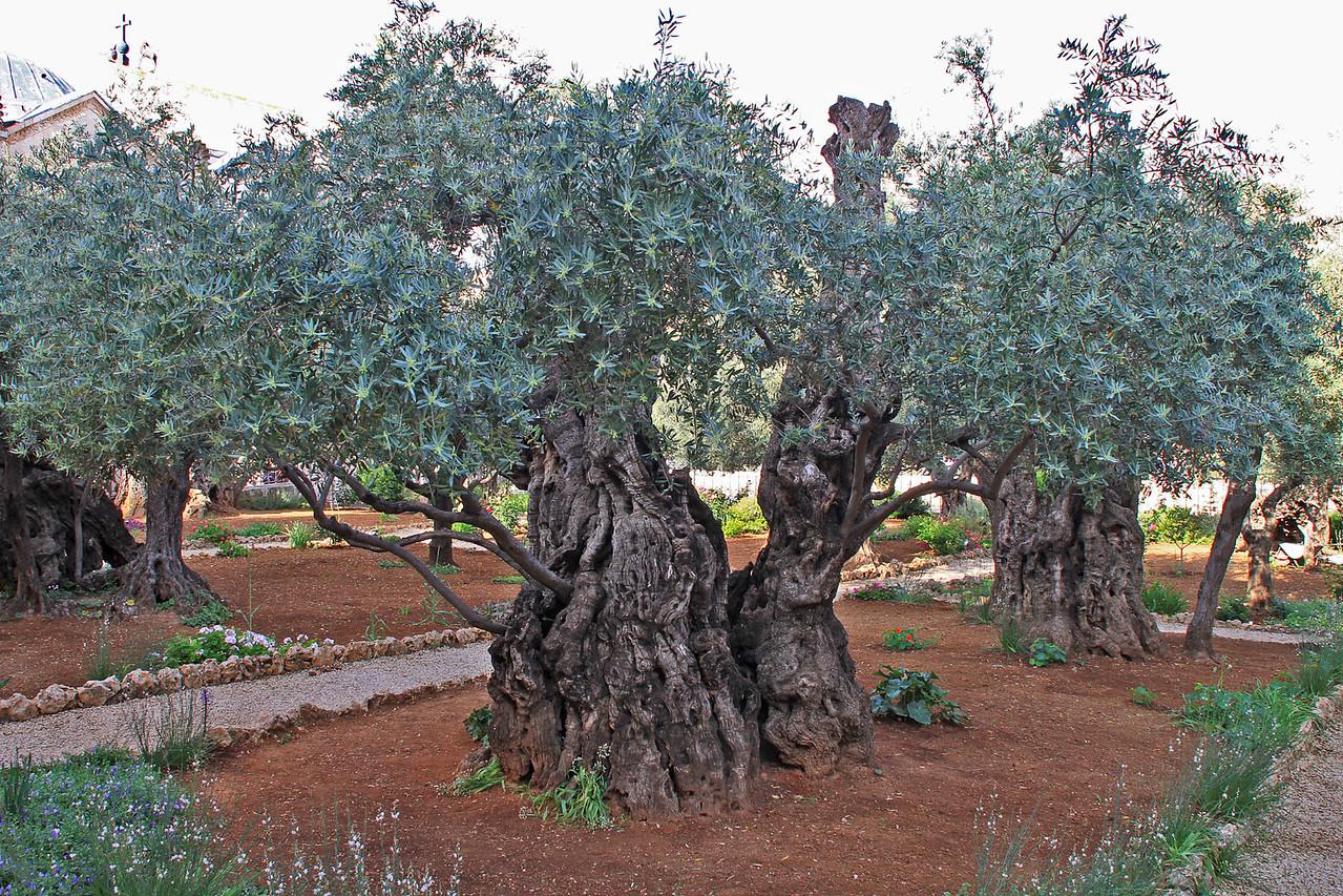 Gardens of Gethsemane - Ancient Olive Trees