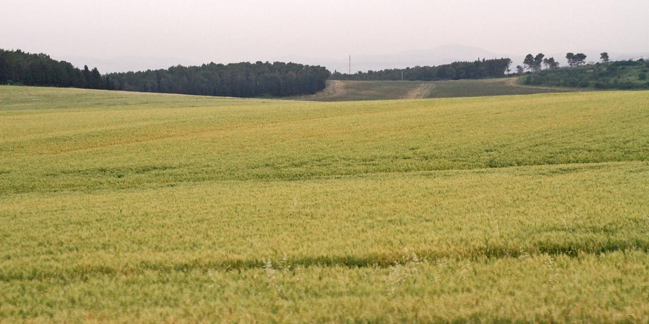 Jezreel Valley -Wheat Fields