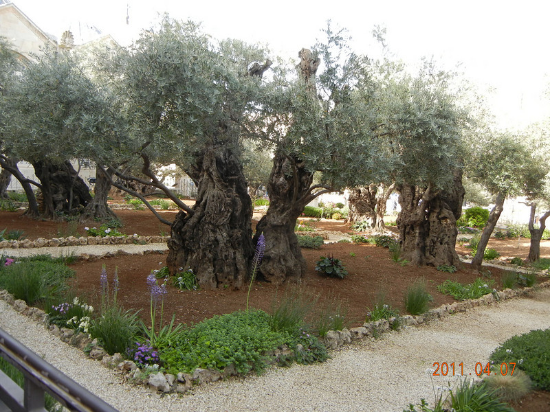 Olive Trees believed to be > 3000 years old, Garden of Gethsemane, Jerusalem, Israel
