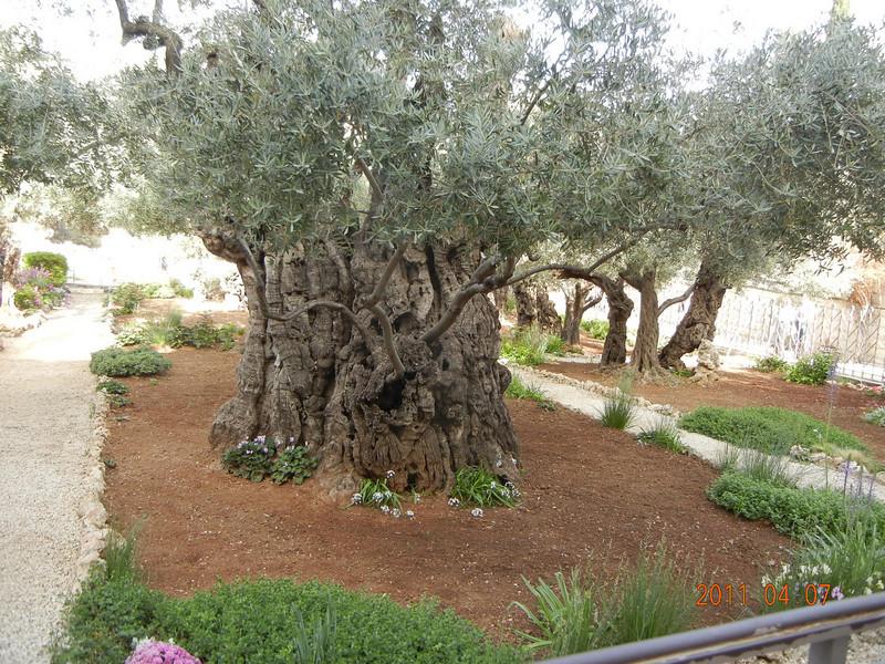 Olive Trees believed to be > 3000 years old, Garden of Gethsemane, Jerusalem, Israel