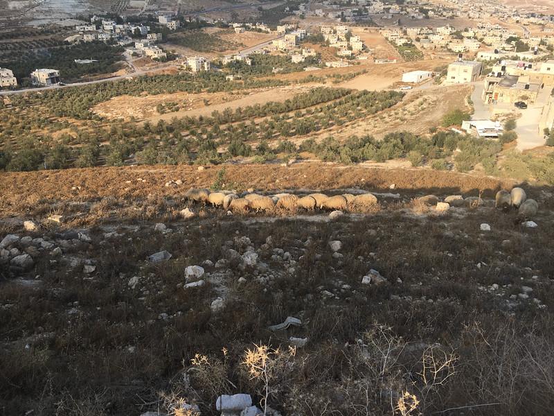 Herd of sheep at Herodion