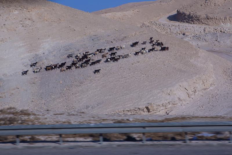 Goat herd in the Judean wilderness between Jerusalem and the Dead Sea