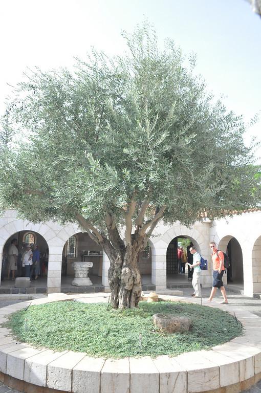 Olive Tree, Tabgha