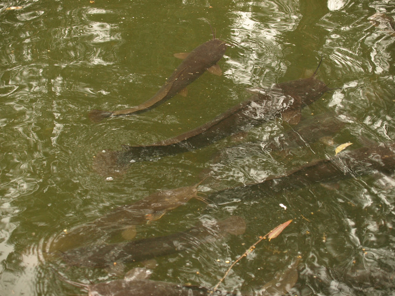 What look like catfish (!) in the Jordan River; certainly did not expect to see this!