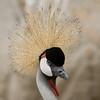 òâåø ëúø àôåøGrey Crowned Crane (Balearica regulorum)