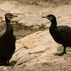 ÷åøîåøï âãåìGreat Cormorant (Phalacrocorax carbo)