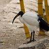îâìï ÷ãåùSacred Ibis (Threskiornis aethiopicus)