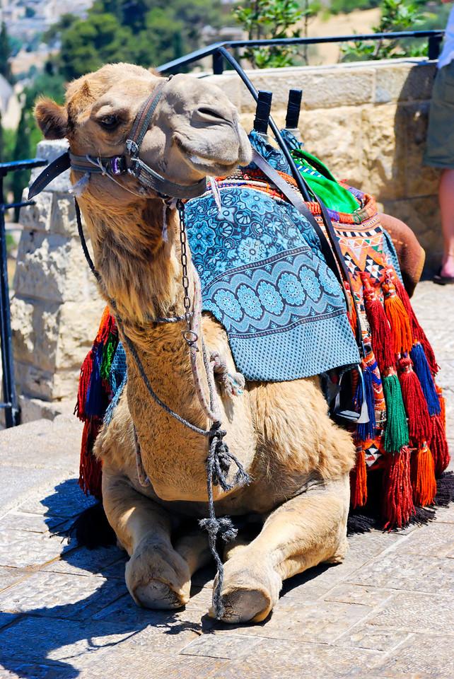 Camelo simpático