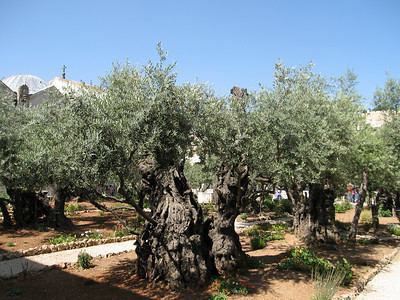 The oldest Olive trees in the World, in the Garden of Gethsamane  http://en.wikipedia.org/wiki/Gardens_of_Gethsemane