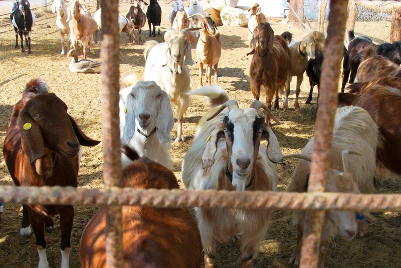 Goat Farm - Kibbutz Neot Smadar (c) Daniel Yoffee