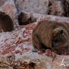 Cape Hyrax, Nahariya shore, Israel