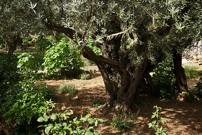 Centuries old olive trees in the garden of Gethseman, Jerusalemi.