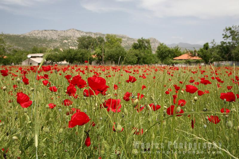 Ubiquitous Red Poppy