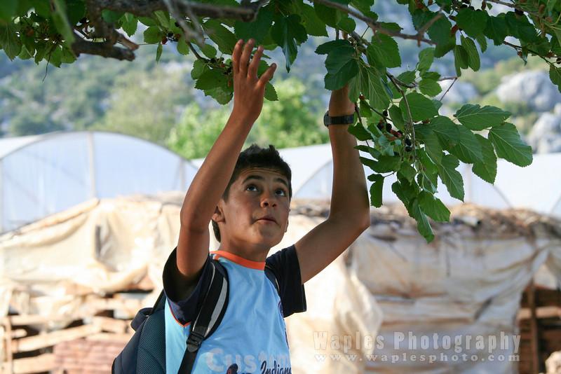 Local boy eating picking cherries