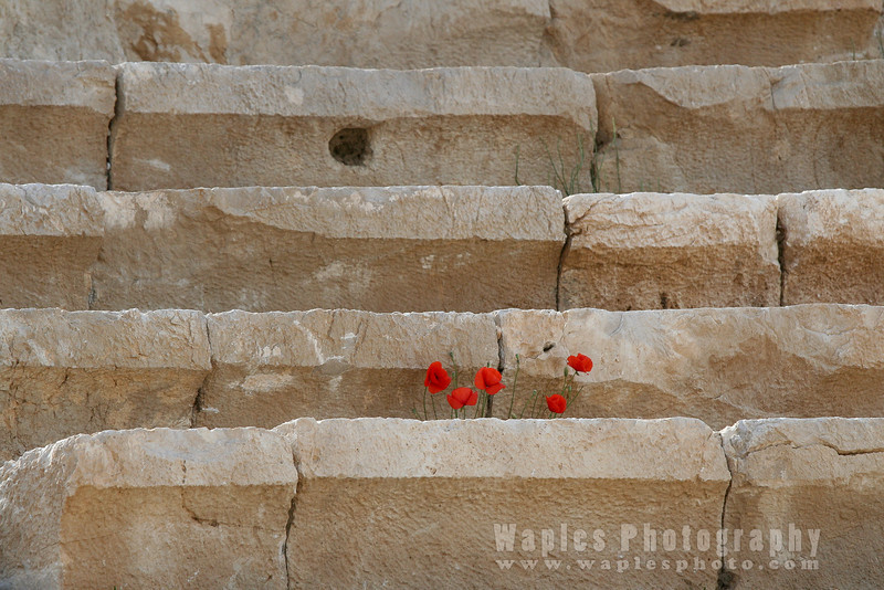 Poppies in the ampitheatre