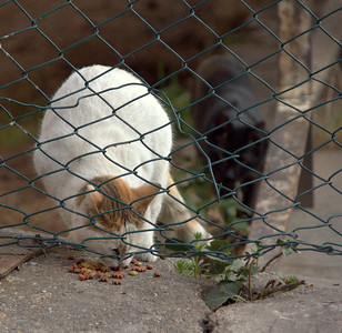 White cat eating. Look at the black cat approaching too.